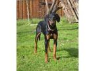 Adopt Dewey a Doberman Pinscher, Greyhound