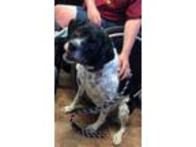 Adopt Phoebe a White - with Black Pointer / Mixed dog in Amarillo, TX (25642049)