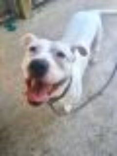 Lark American Staffordshire Terrier Dog