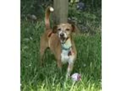 Adopt Popeye a Tan/Yellow/Fawn - with White Beagle / Italian Greyhound / Mixed