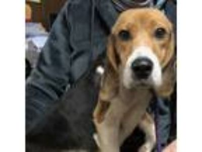 Adopt Grunter: Bonded with Lucy! a Beagle