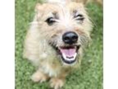 Adopt Oliver a Tan/Yellow/Fawn Dachshund / Schnauzer (Miniature) / Mixed dog in