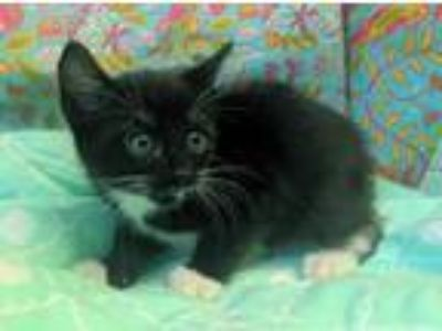Adopt Alexis 30752 a Black & White or Tuxedo Domestic Shorthair / Mixed (short