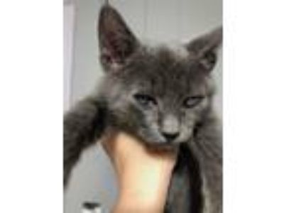 Adopt Sterling a Domestic Short Hair