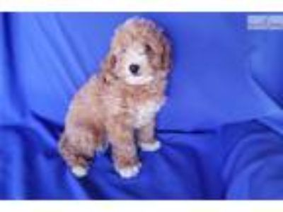 Red Toy Poodle Male