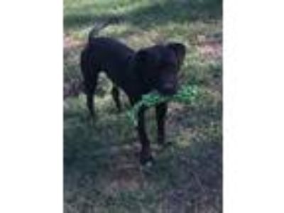 Adopt Buddy a Black American Pit Bull Terrier / Mixed dog in Jesup