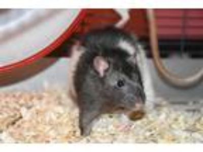 Adopt Sully a Rat
