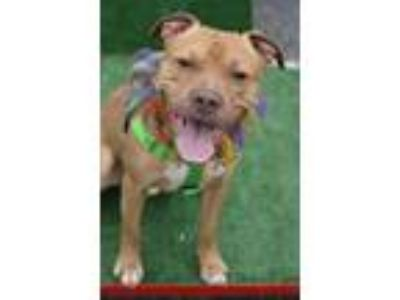 Adopt Buster a Pit Bull Terrier / Mixed dog in Port Jervis, NY (21698576)