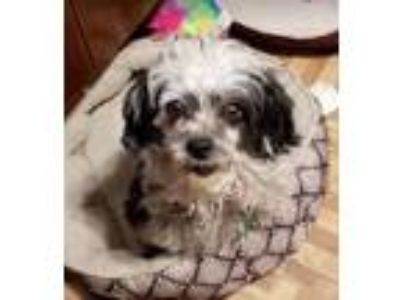 Adopt Daisy Mae a Black - with White Poodle (Miniature) / Mixed dog in Cranston