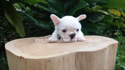 French Bulldog PUPPY FOR SALE ADN-89094 - Beautiful and adorable French Bulldog 1650