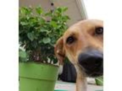 Adopt Roxy II a Red/Golden/Orange/Chestnut - with White Labrador Retriever /