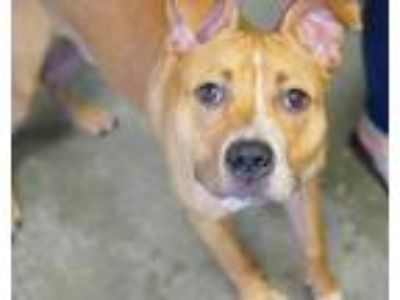 Adopt Max a Tan/Yellow/Fawn American Pit Bull Terrier / Mixed dog in Bowling