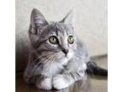 Adopt Judith a Domestic Short Hair