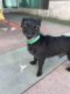 Charlie Dachshund - Wirehaired Dachshund Dog