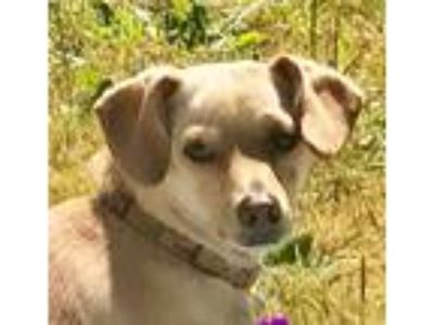 Adopt Monty Zooma a Tan/Yellow/Fawn Whippet / Dachshund / Mixed dog in Portland