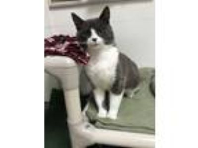 Adopt Earl a Domestic Short Hair