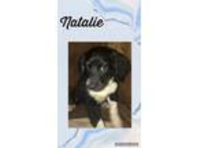 Adopt Natalie a Black - with White Cocker Spaniel / Bloodhound / Mixed dog in