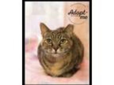 Adopt Abby a Abyssinian / Mixed (short coat) cat in Belton, MO (22337687)