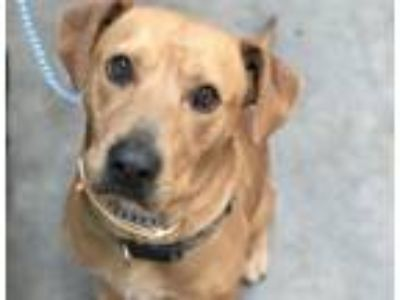 Adopt CHARLIE BROWN a Labrador Retriever