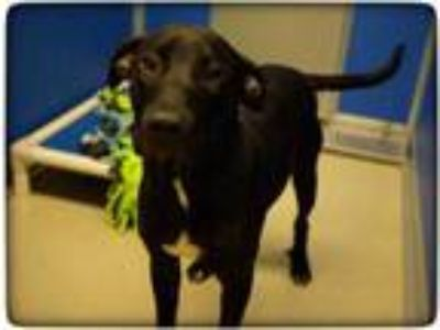 Adopt Ethan a Black Labrador Retriever / Mixed dog in Rochester, MN (25537126)