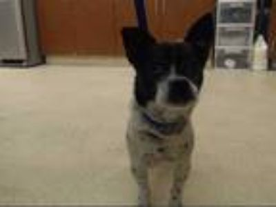 Adopt STEVIE a White - with Black Rat Terrier / Mixed dog in Rancho Cucamonga
