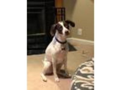 Adopt Cali a White - with Brown or Chocolate Pointer dog in Odenton