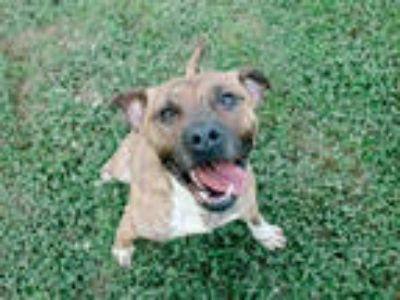 Adopt SIMCO a Brindle Boxer / Mixed dog in York, SC (22711431)