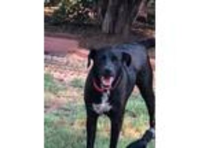 Adopt Missy a Black - with White Labrador Retriever / Mixed dog in DFW