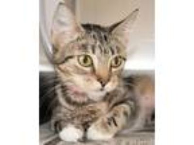Adopt ZOOM a Domestic Short Hair