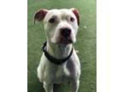 Adopt Ceasar a White American Pit Bull Terrier / Mixed dog in Lakeland