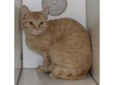 Adopt June a Domestic Shorthair / Mixed cat in Raleigh, NC (25879915)