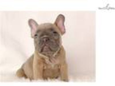 Blue fawn French female bulldog