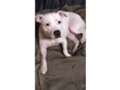 Adopt Zoe a White American Pit Bull Terrier / Mixed dog in Thomasville