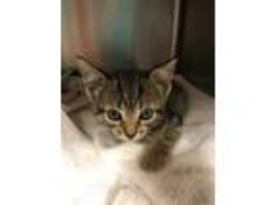 Adopt Kima a Brown or Chocolate Domestic Shorthair / Domestic Shorthair / Mixed