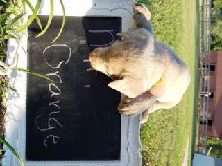 Labrador Retriever PUPPY FOR SALE ADN-88261 - AKC Silver Labs