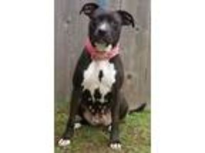 Adopt Luna a Labrador Retriever / Pit Bull Terrier / Mixed dog in Great Bend