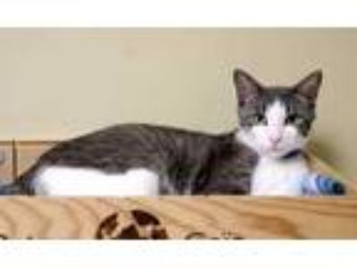 Adopt Harry a Gray or Blue Domestic Shorthair / Domestic Shorthair / Mixed cat