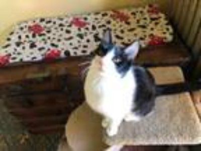 Adopt Fezziwig a Domestic Short Hair