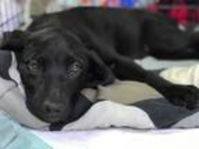 Adopt Bessie a Black Labrador Retriever / Anatolian Shepherd / Mixed dog in