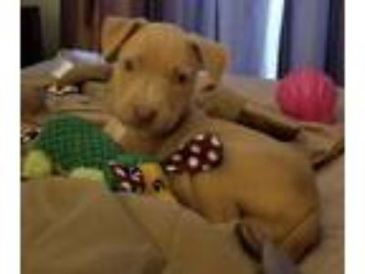 Adopt Sophia a Tan/Yellow/Fawn Labrador Retriever / Mixed dog in Spring