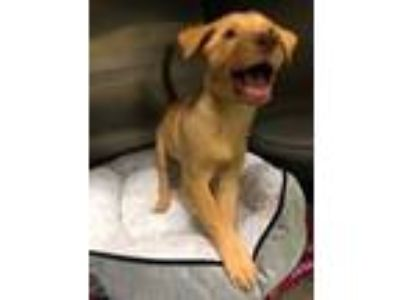 Adopt Mazie a Red/Golden/Orange/Chestnut Retriever (Unknown Type) / Mixed dog in