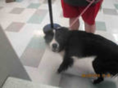Adopt DASH a Black - with White Border Collie / Mixed dog in Oklahoma City
