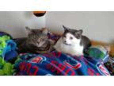 Adopt Soyna *Bonded Pair* a Domestic Short Hair