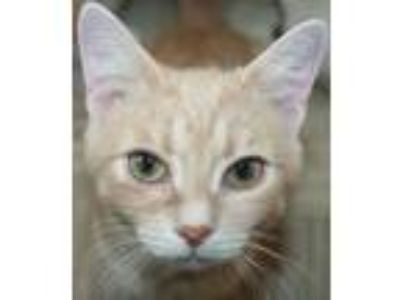 Adopt Bradley a Domestic Short Hair