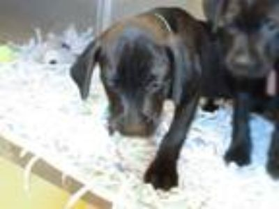 Adopt REMY a Black - with White Labrador Retriever / Mixed dog in Maryland