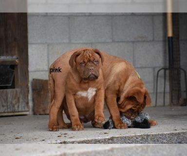 Dogue de Bordeaux PUPPY FOR SALE ADN-122571 - Dogue de Bordeaux female Pink Collar