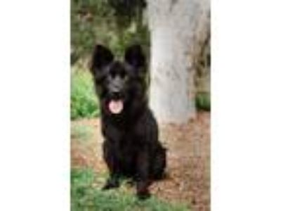Adopt JAX a German Shepherd Dog, Chow Chow
