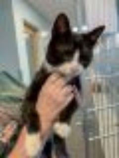 Link Domestic Short Hair Cat