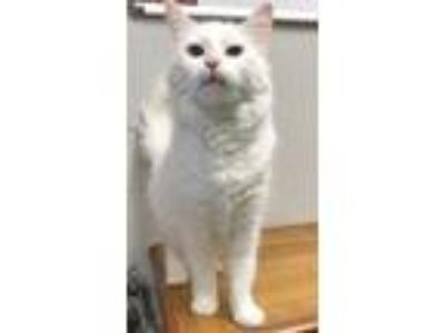 Adopt Shea a White Domestic Shorthair / Domestic Shorthair / Mixed cat in