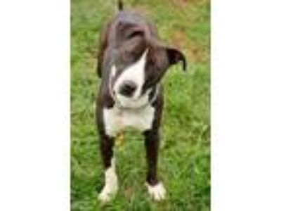 Adopt Gary a Black American Pit Bull Terrier / Mixed dog in Owosso
